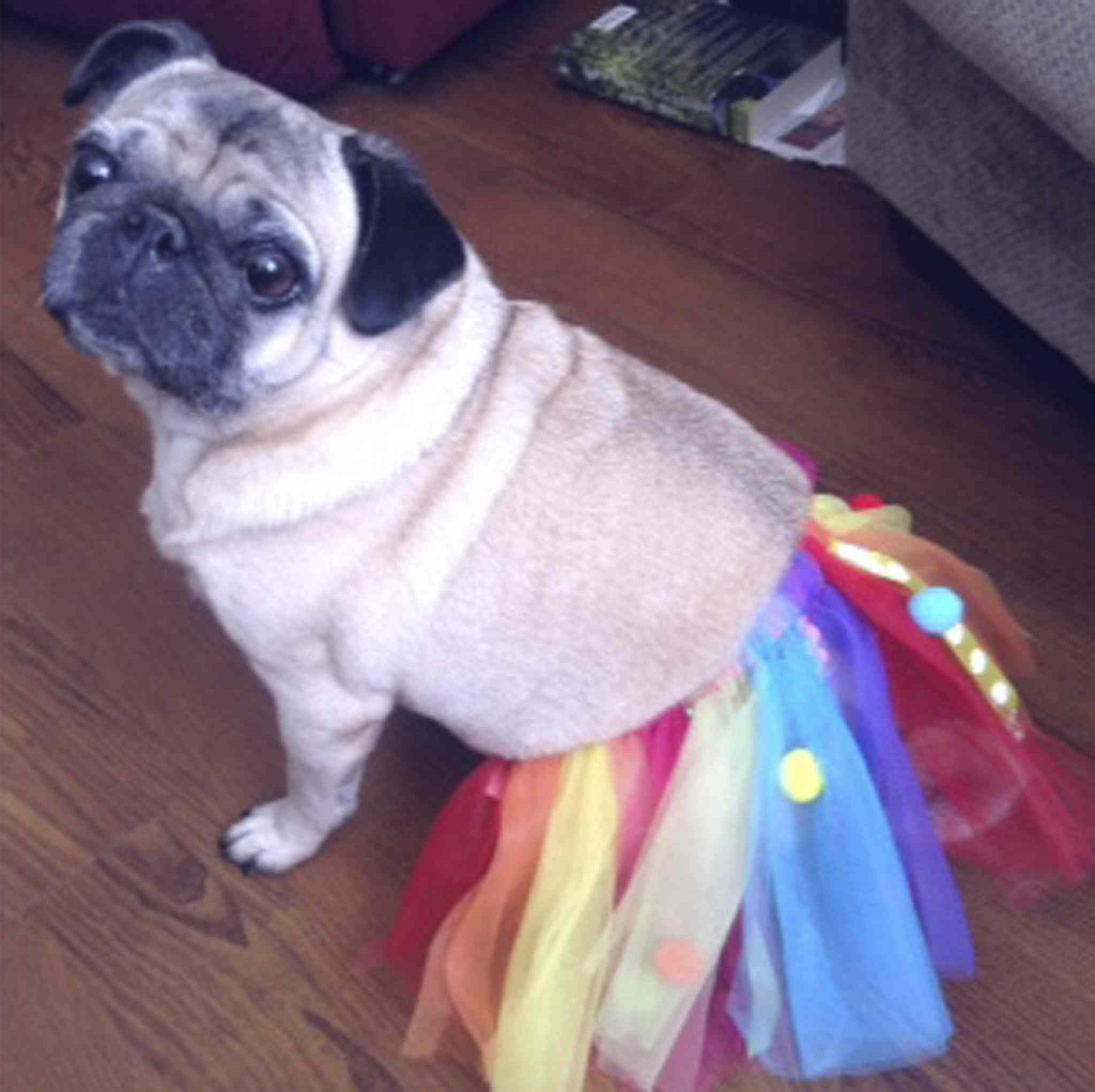 Owner Kendra Howard reports that pug Poppy has lost one pound. Poppy joined the fit-pet project not too long ago, so this is good progress. Kendra said Poppy has done very well, and although she has only lost one pound, she has made great progress with her exercise in general.